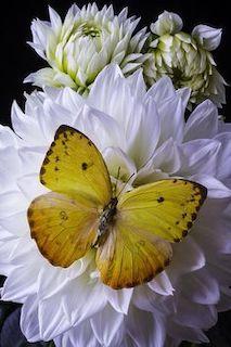 Questa è la foto di una grande farfalla gialla con particolari marroni posata su un'enorme dàlia bianca con una leggera tonalità di lillà  sulle punte dei petali. Il fiore è completamente aperto; Sullo sfondo sono visibili altri due fiori della stessa specie con un'unica variante poiché essi mostrano la parte iniziale dei petali di colore verde.